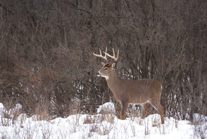 Un dólar blanco-atado de los ciervos en la nieve de la madrugada durante la rodera imagenes de archivo