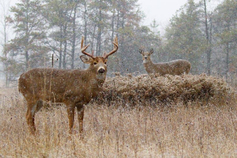 Un dólar blanco-atado de los ciervos que busca a un compañero durante la rodera en la luz del otoño de la madrugada imagenes de archivo