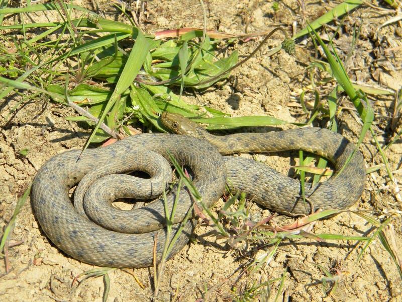 Tessellata del Natrix - serpiente de los dados - fotos de archivo