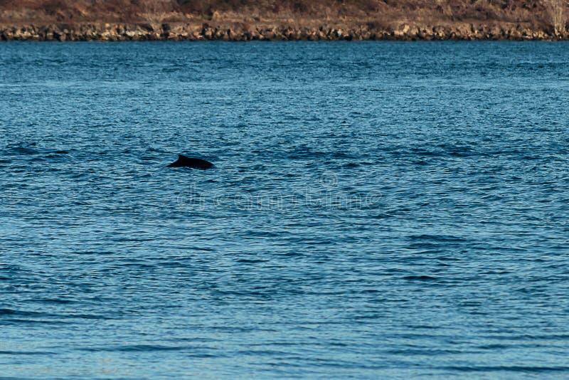 Un dauphin silhouetté jetant un coup d'oeil hors du bruit de puget photo stock