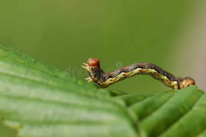 Un defoliaria chiazzato grazioso di erannis di Caterpillar del lepidottero del Umber che riposa su una foglia fotografie stock libere da diritti