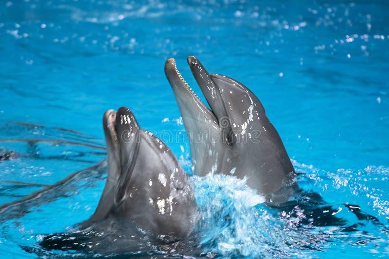 Un delfino comune giocoso nell'oceanario Delfini sorridenti in un delfino interno fotografie stock
