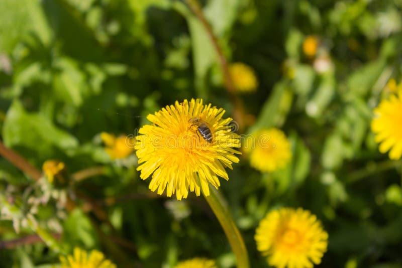 Un dente dei lioncon un'ape mellifica di lavoro fotografie stock