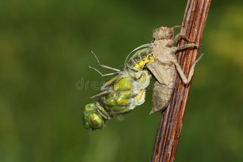 Un depressa corpóreo amplio de Libellula de la libélula del cazador que emerge desde detrás de la ninfa imagenes de archivo
