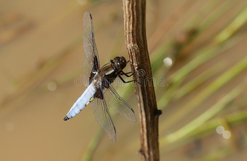Un depressa Vasto-bodied maschio sbalorditivo di Libellula dell'intercettore che si appollaia su un gambo della pianta in mezzo a immagini stock