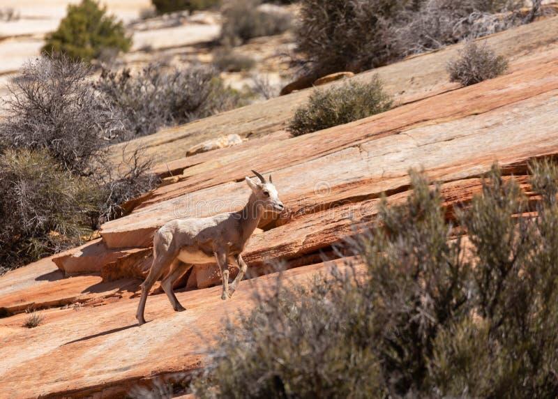 Un desierto joven que la oveja de cuernos grande lo hace es manera encima de una cuesta o de un slickrock rojo en el parque nacio imagen de archivo libre de regalías
