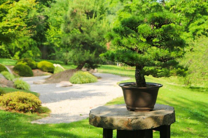 Un detalle de un bonsai foto de archivo