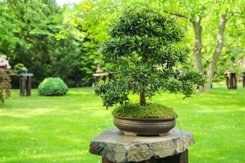 Un detalle de un bonsai imagen de archivo libre de regalías