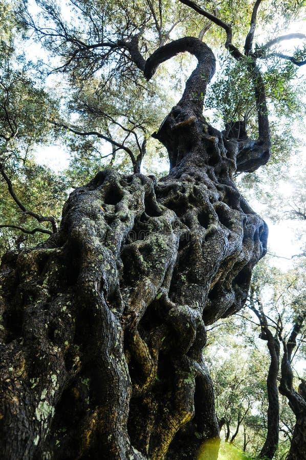 Un di olivo nodoso fotografie stock libere da diritti