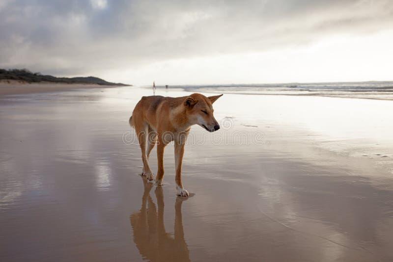 Un dingo australiano imagen de archivo libre de regalías