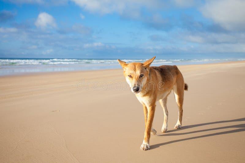 Un dingo australiano fotografía de archivo