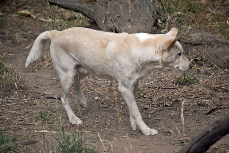 Un dingo blanco imágenes de archivo libres de regalías