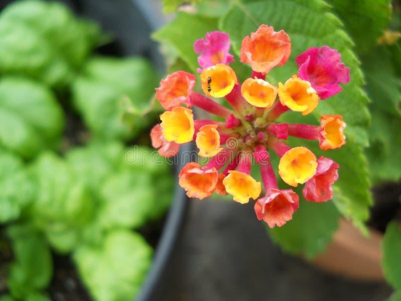 Un diverso coulor de la flor del Lantana imagenes de archivo