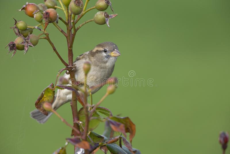 Un domesticus femenino del transeúnte del gorrión de casa encaramado en una rama de un arbusto de la cadera color de rosa Detrás  fotos de archivo libres de regalías