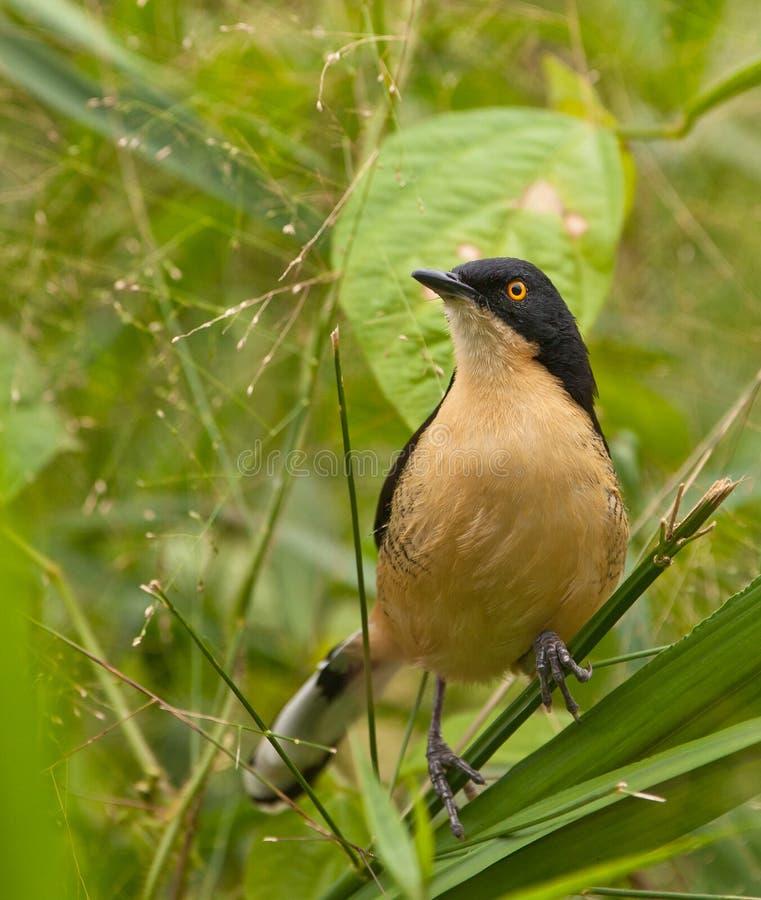 Un Donacobius Noir-recouvert photos stock