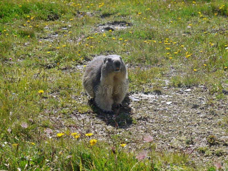 Un dovere in guardia della marmotta fotografie stock libere da diritti