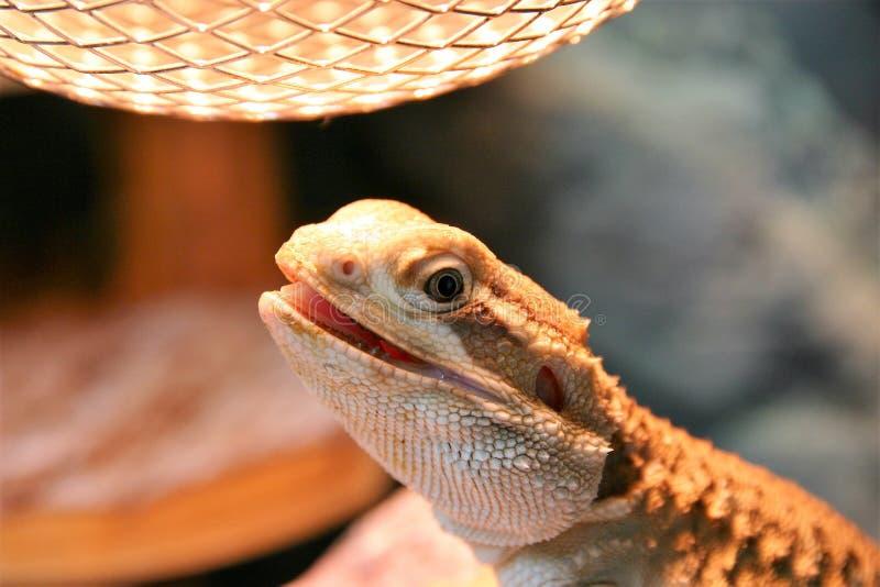 Un dragón de los rankin que toma el sol debajo de la lámpara de calor foto de archivo libre de regalías