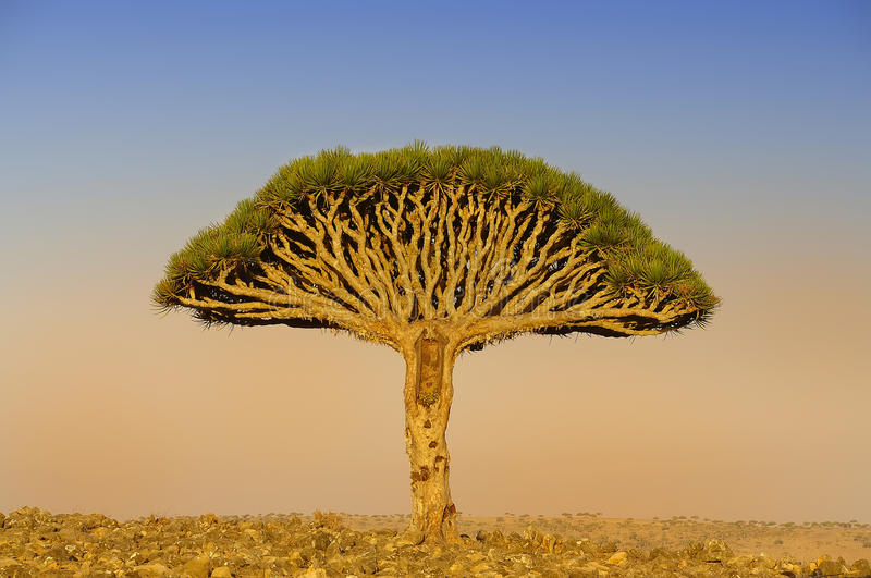 Un dragón en el centro del árbol Endemics Yemen fotos de archivo libres de regalías
