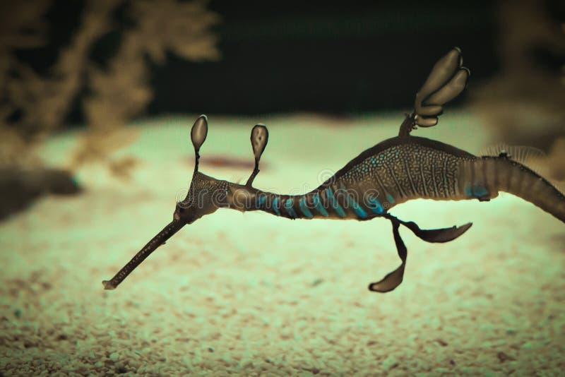 Un dragón hermoso del mar fotografía de archivo libre de regalías