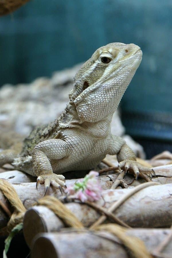 Un drago dei rankin non vuole mangiare un fiore del trifoglio bianco fotografie stock libere da diritti