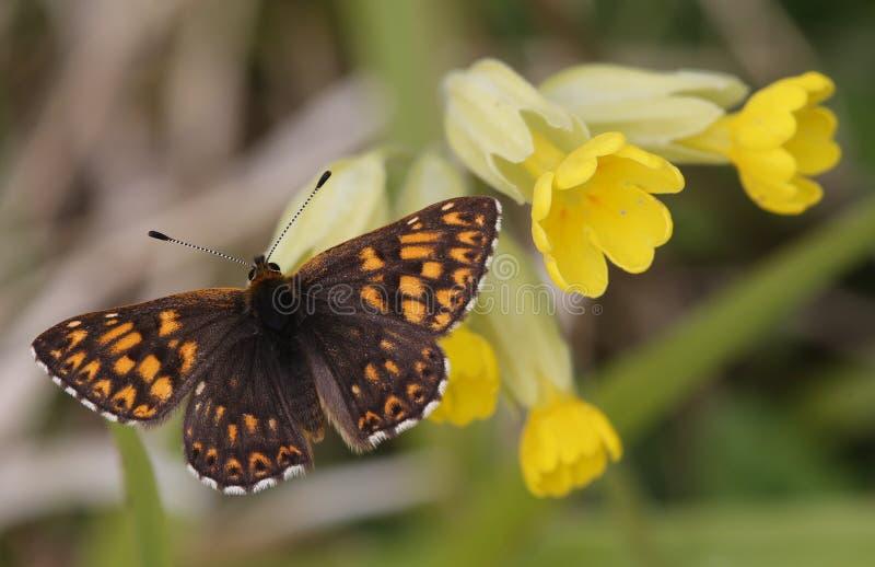 Un duque raro del lucina de Hamearis de la mariposa de Borgoña se encaramó en una flor de la prímula imagenes de archivo