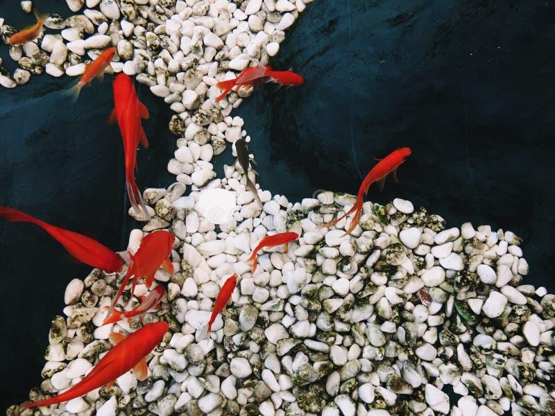 12 un e del pesce rosso pesce nero che galleggia in chiara acqua pura immagine stock