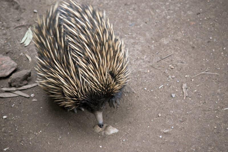 Un echidna australien images libres de droits