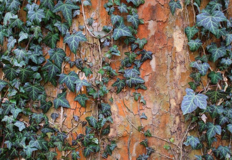 Un'edera su un albero fotografia stock libera da diritti