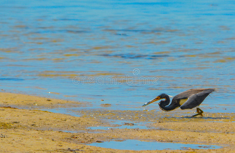 Un'egretta dell'airone di Tricolored tricolore alla riserva acquatica della baia del limone in Cedar Point Environmental Park, la fotografia stock