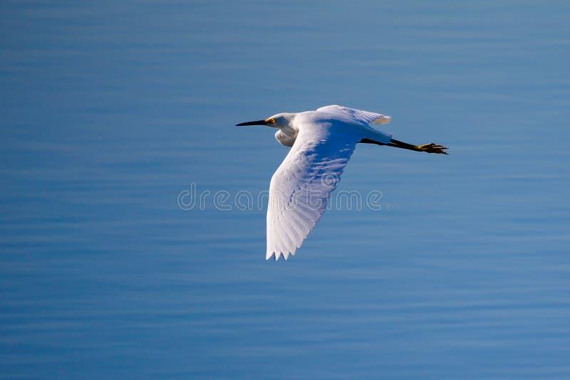 Un'egretta di Snowy volante immagini stock libere da diritti