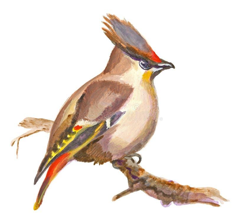 Un ejemplo pintado a mano en blanco - pájaro, waxwing de Boheian libre illustration