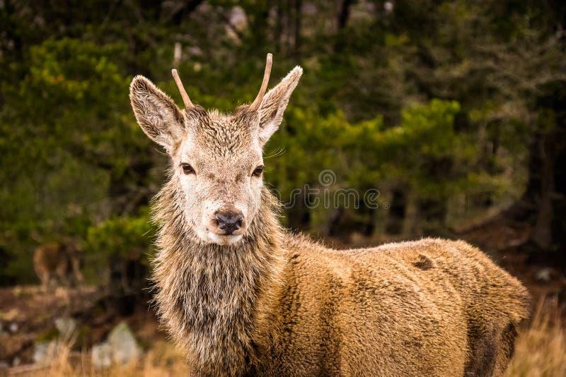 Un elaphus de Cervus de mâle de cerfs communs rouges dans Glencoe dans les montagnes écossaises photos stock