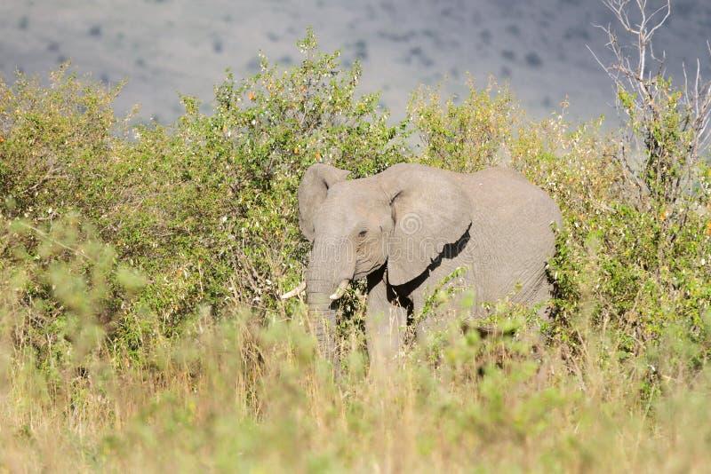 Un elefante africano en los arbustos foto de archivo