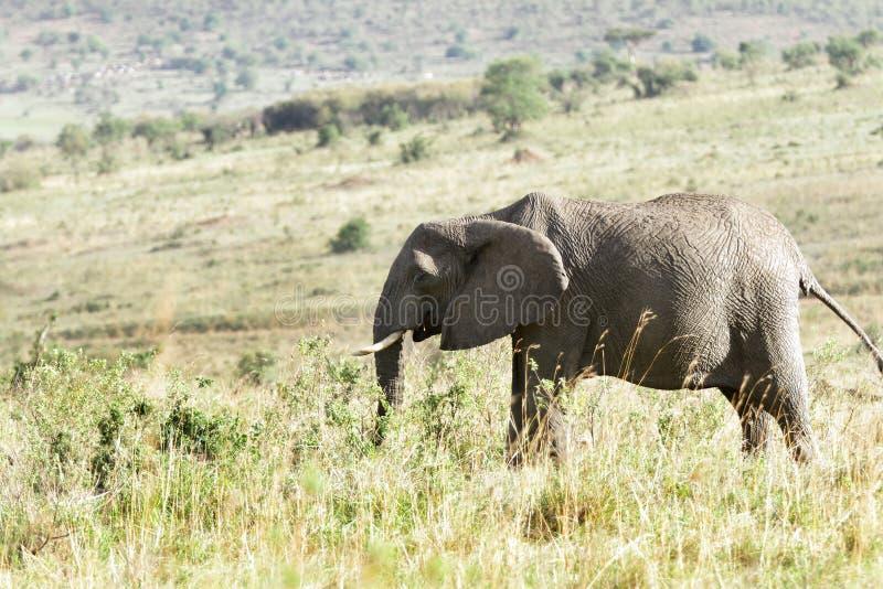 Un elefante africano enorme en el prado de la sabana fotografía de archivo libre de regalías