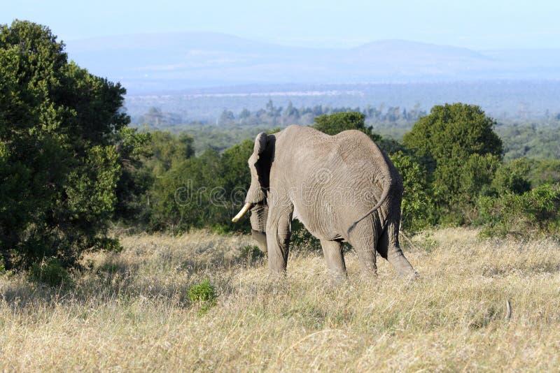 Un elefante africano enorme que se mueve en el bosque foto de archivo libre de regalías