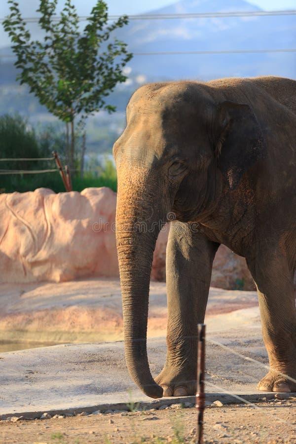 Un elefante asiático fotos de archivo