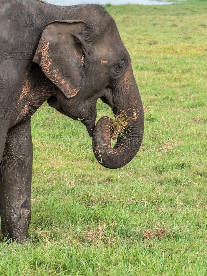 Un elefante asiático en perfil que come la hierba en el parque nacional de Minneriya en Sri Lanka fotografía de archivo