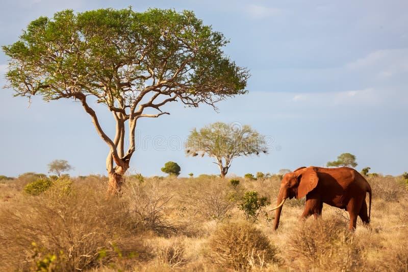 Un elefante che cammina nella savana, sul safari fotografie stock