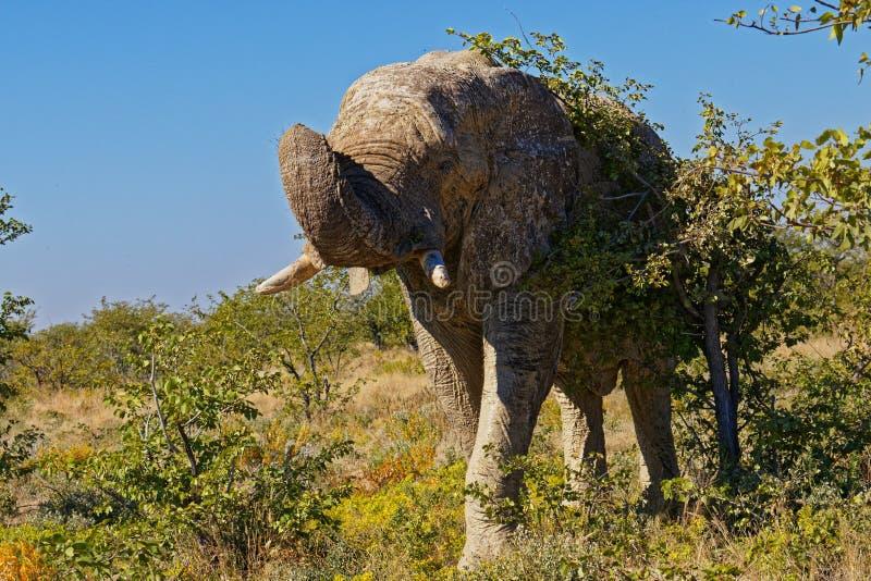 Un elefante de toro viejo solitario que nos amenaza, parque nacional de Etosha, Namibia fotografía de archivo libre de regalías