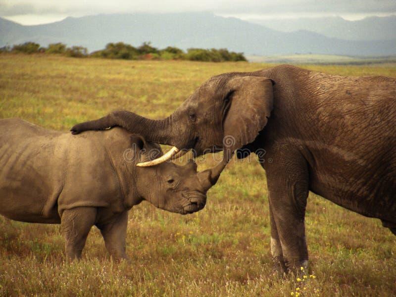 Un elefante e un rinoceronte immagine stock libera da diritti