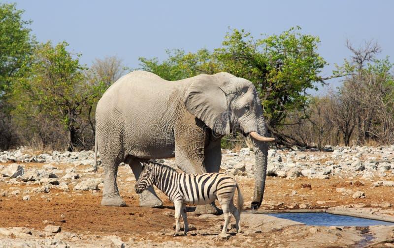 Un elefante fa una pausa un waterhole con una fine della zebra vicino fotografia stock libera da diritti