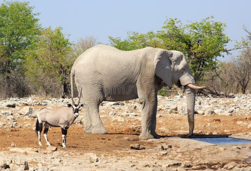 Un elefante hace una pausa un waterhole con un cierre del Oryx del Gemsbok cerca imagenes de archivo