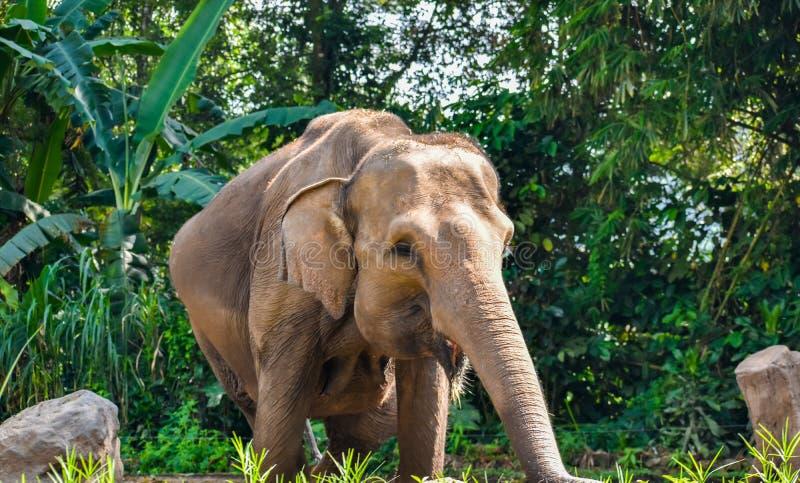 Un elefante incinto fotografia stock libera da diritti