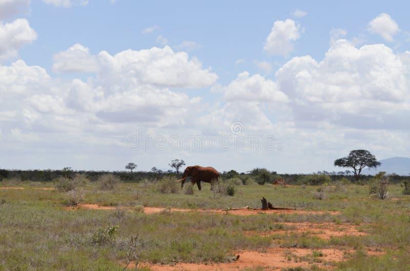 Un elefante, Kenya fotografie stock libere da diritti