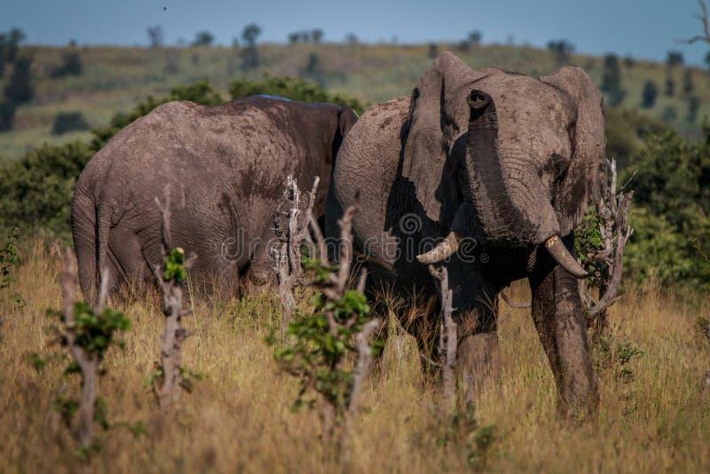 Un elefante in pieno di fango che odora intorno immagine stock libera da diritti