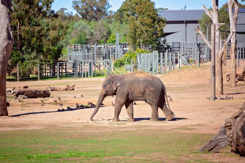 Un elefante que camina sacudiendo su tronco imagen de archivo