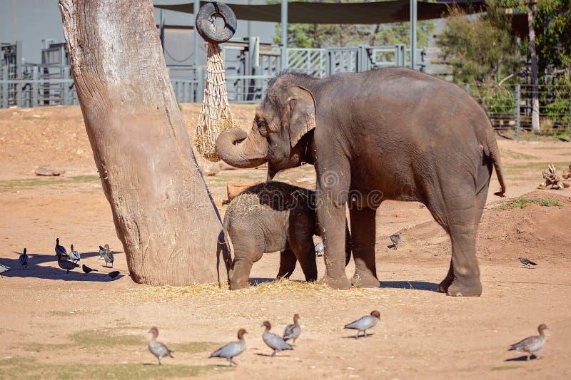 Un elefante que come a Hay With Her Offspring imagen de archivo