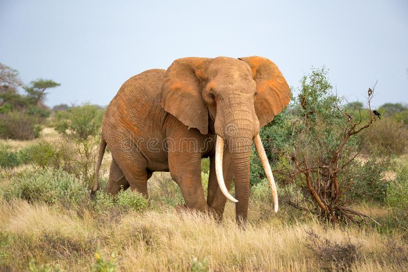 Un elefante sta camminando fra il cespuglio immagine stock