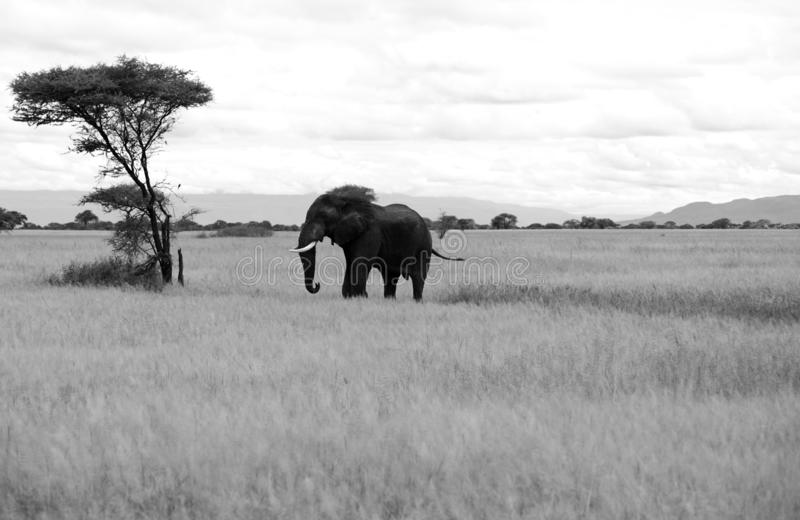 Un elefante y un árbol en blanco y negro imágenes de archivo libres de regalías