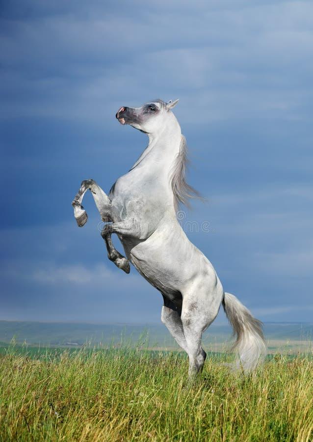 Un'elevazione araba grigia del cavallo fotografia stock